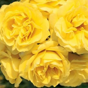 trandafir-carte-d_or