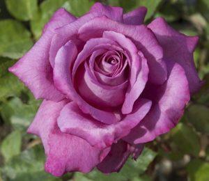 trandafir_claude-brasseur