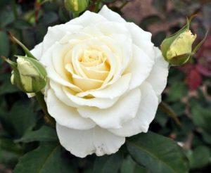 trandafir_tineke