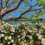 Trandafiri în grădina muzeului de arheologie din orașul Chania din Creta