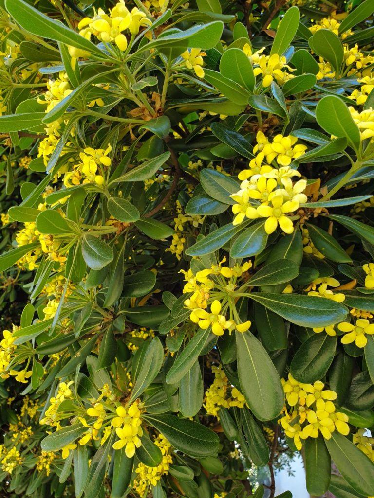 Flori galbene în grădina muzeului de arheologie din orașul Chania din insula grecească Creta.