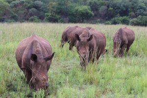 Ziua Internațională a Veganilor-Cum ajuți și tu la salvarea rinocerilor